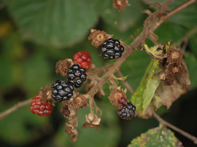A collection of blackberries still on the brambles